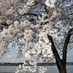 cherry blossoms, spring, gay news, Washington Blade